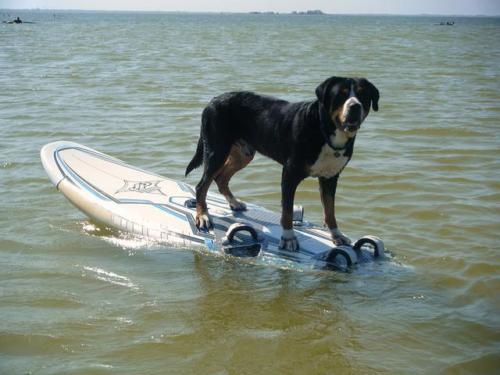 Mouse Greater Swiss Mountain Dog Water Rescue surfing